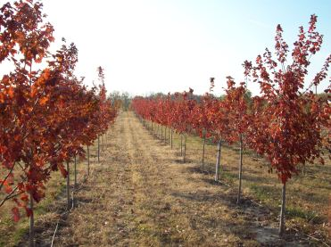 Red Maple Varieties 2006