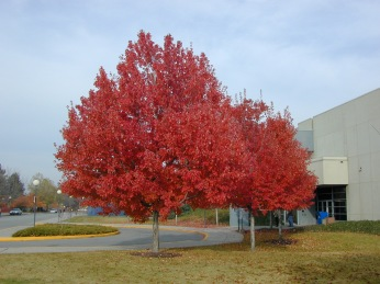 Image result for red maple tree